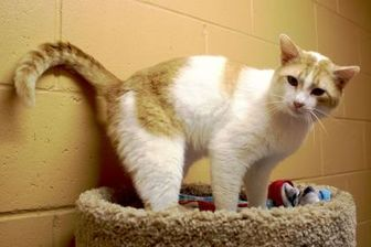 Domestic Mediumhair/Domestic Shorthair Mix Cat for adoption in Enterprise, Alabama - Leo