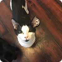 Adopt A Pet :: Kitten - Scout (2) - Napa, CA