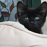Adopt A Pet :: Buckingham - Ann Arbor, MI