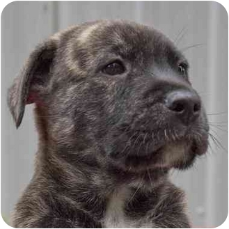 Akita/American Pit Bull Terrier Mix Puppy for adoption in Westfield, New York - Jenkins