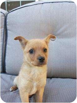 Shepherd (Unknown Type) Mix Puppy for adoption in Simi Valley, California - Allie
