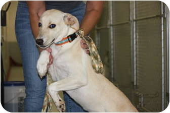 Labrador Retriever/Italian Greyhound Mix Dog for adoption in Prince William County, Virginia - eve