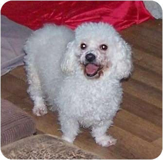 Poodle (Miniature) Mix Dog for adoption in San Angelo, Texas - Waffles