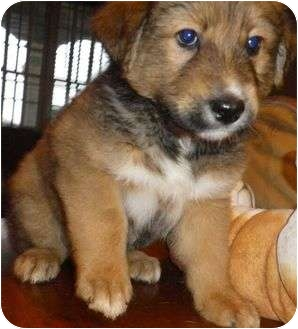 Border Collie/Australian Shepherd Mix Puppy for adoption in Staunton, Virginia - Tank