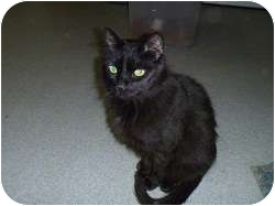 Domestic Shorthair Cat for adoption in Hamburg, New York - Jake