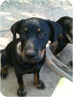 Rottweiler/Labrador Retriever Mix Puppy for adoption in Austin, Texas - Alice