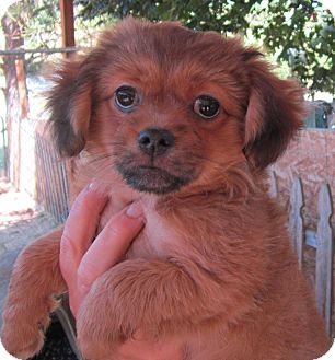 Pekingese/Chihuahua Mix Puppy for adoption in Salem, Oregon - Bonny