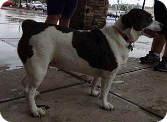 Eskimo Dog/Catahoula Leopard Dog Mix Dog for adoption in Windham, New Hampshire - Nala (Urgent $100 off)