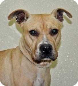 Pit Bull Terrier Mix Dog for adoption in Port Washington, New York - Sandy