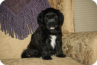 Terrier (Unknown Type, Small) Mix Puppy for adoption in West Milford, New Jersey - CLOVE