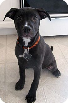 Labrador Retriever Mix Puppy for adoption in Detroit, Michigan - Toast-Adopted!