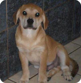 Labrador Retriever/Hound (Unknown Type) Mix Puppy for adoption in Bartonsville, Pennsylvania - NEVIN