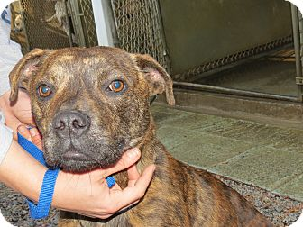 Pit Bull Terrier Mix Dog for adoption in Henderson, North Carolina - Max