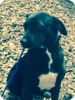 Labrador Retriever Mix Dog for adoption in Hatifeld, Pennsylvania - Baby Girl