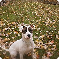 Bull Terrier Mix Dog for adoption in Elyria, Ohio - Target