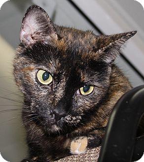 Domestic Shorthair Cat for adoption in Westminster, California - Korri