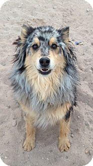 Australian Shepherd Mix Dog for adoption in Las Cruces, New Mexico - Ringo