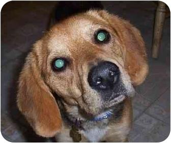 Beagle Mix Dog for adoption in Ventnor City, New Jersey - JEFFREY