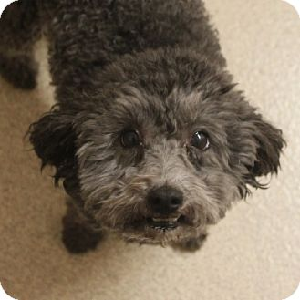 Miniature Poodle Mix Dog for adoption in Naperville, Illinois - Maddie 2