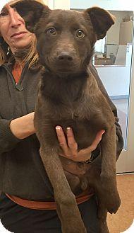 Labrador Retriever/Border Collie Mix Puppy for adoption in Pleasanton, California - Bosco-Adoption Pending