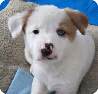 Retriever (Unknown Type)/Australian Shepherd Mix Puppy for adoption in Minneapolis, Minnesota - Mo