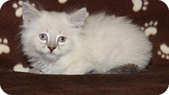Siamese Kitten for adoption in Orland Park, Illinois - Cypress