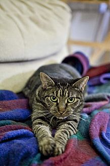 Domestic Shorthair Cat for adoption in Midway City, California - Sesame