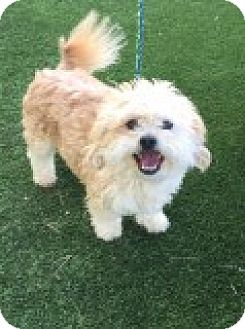 Poodle (Miniature)/Maltese Mix Dog for adoption in Las Vegas, Nevada - Nick