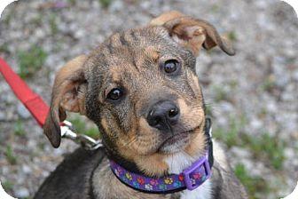 Shepherd (Unknown Type) Mix Puppy for adoption in Parkville, Missouri - Adele