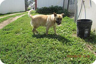 Chow Chow Mix Dog for adoption in Walthill, Nebraska - Amos