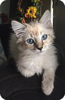 Himalayan Kitten for adoption in Nashville, Tennessee - Bristol