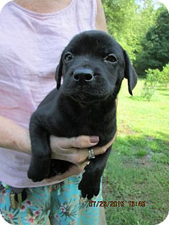 Labrador Retriever Mix Puppy for adoption in Rutherfordton, North Carolina - Romeo