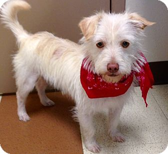 Terrier (Unknown Type, Small) Mix Dog for adoption in Norwalk, Connecticut - Piglet