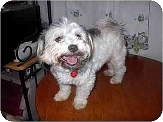 Lhasa Apso/Terrier (Unknown Type, Medium) Mix Dog for adoption in Downey, California - Scooter