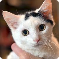 Adopt A Pet :: Huckleberry - Brooklyn, NY