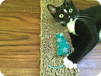 Domestic Shorthair Kitten for adoption in Chicago, Illinois - Ruthie