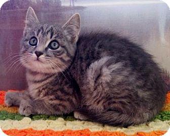 Domestic Shorthair Kitten for adoption in Buena Vista, Colorado - Dune