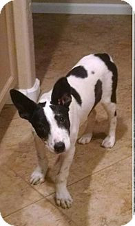 Bull Terrier Mix Dog for adoption in Chandler, Arizona - Kenzie