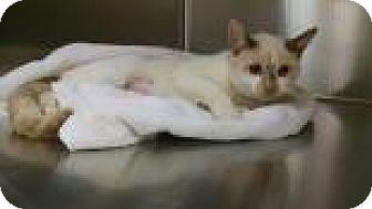 Domestic Shorthair Cat for adoption in Columbus, Georgia - Tori 2490