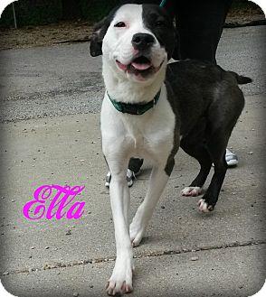 American Pit Bull Terrier Dog for adoption in Muskegon, Michigan - Ella