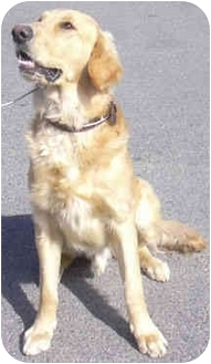 Golden Retriever Dog for adoption in West Warwick, Rhode Island - Dakota