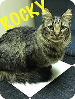 Maine Coon Cat for adoption in Cleveland, Tennessee - Rocky