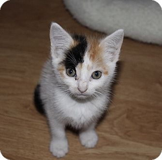 Domestic Shorthair Kitten for adoption in Tampa, Florida - Lottie