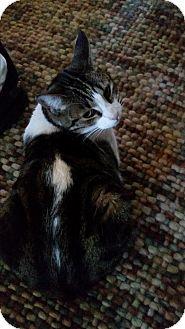 Domestic Shorthair Cat for adoption in Monrovia, California - Riley
