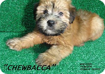 Wheaten Terrier/Border Terrier Mix Puppy for adoption in El Cajon, California - Chewbacca-ADOPTED-more coming