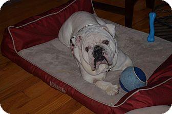 English Bulldog Dog for adoption in Columbus, Ohio - Mojo