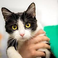Domestic Shorthair Cat for adoption in Santa Paula, California - Nyla