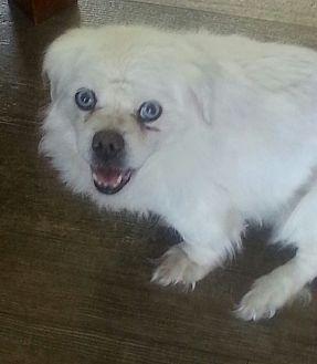 Pekingese Mix Dog for adoption in Dothan, Alabama - Trinity