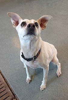 Jack Russell Terrier/Chihuahua Mix Dog for adoption in Groton, Connecticut - Greta