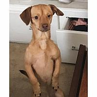 Adopt A Pet :: Buddy - S. Pasedena, FL